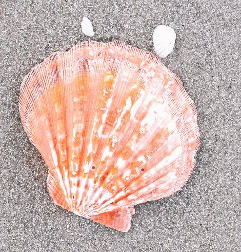 A photo of the Orange Lion's Paw Shell product