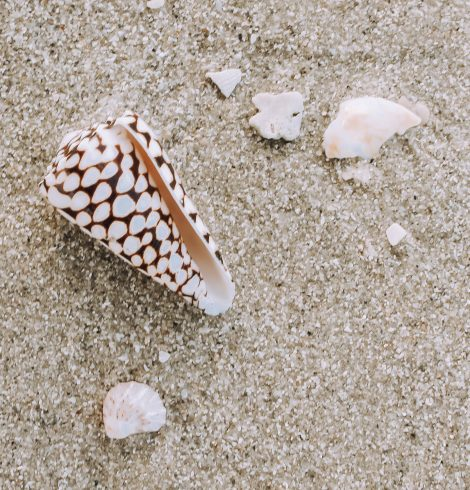 A photo of the Marmoreus Cone Shell product