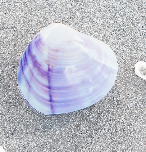 A photo of the Purple Polished Clam Shell product