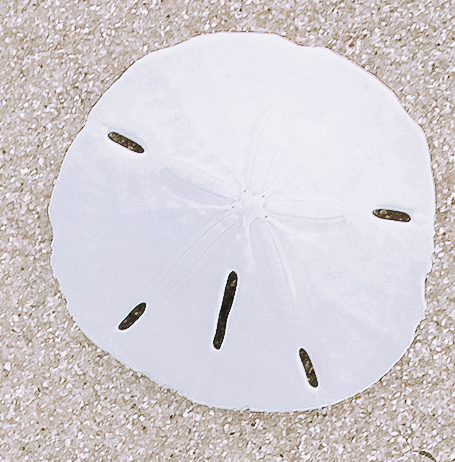 A photo of the Sand Dollar product