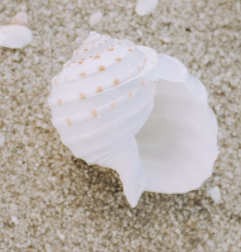 A photo of the White and Brown Conch Shell product